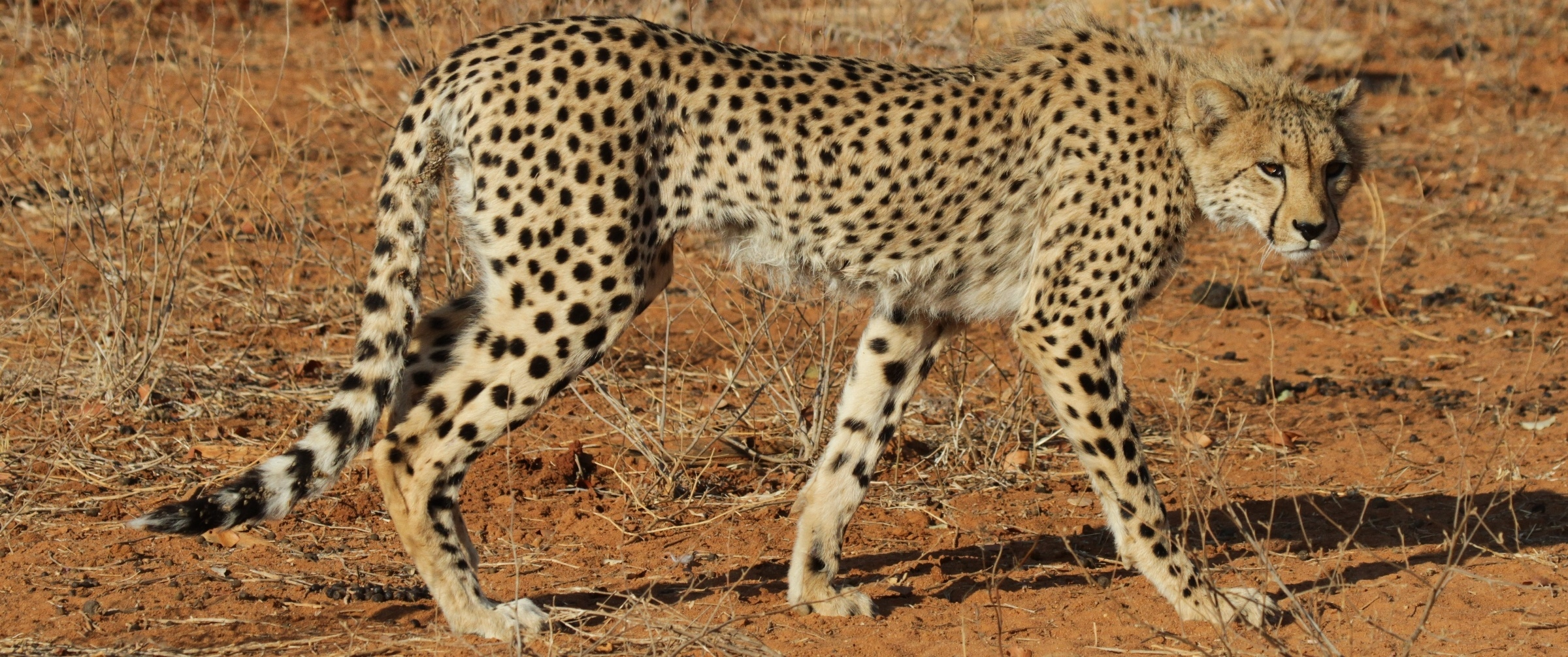 cheetah range wide conservation program for cheetah and african